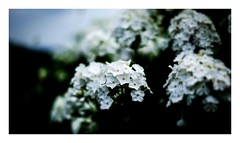 untitled (kouji fujiwara) Tags: flower flowers fujifilmxpro2 fujifilm xpro2 fujinon xf35mmf14 35mm f14 white