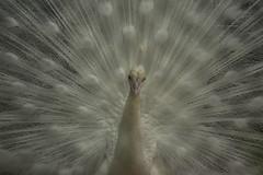 White Peafowl (Debatra) Tags: white peafowl peacock indianpeafowl mysore mys mysuru zoo india karnataka southindia d3300 nikon nikkor 55200 55200mm bird whitepeafowl