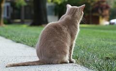 Summer evening (Kerri Lee Smith) Tags: cats tabby tabbies jimmy buffcats bufftabbies orangecats orangetabbies beigecats beigetabbies summer evening summerevening sidewalk