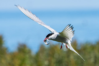 Arctic Tern Sterna paradisaea Flying Home With Sand Eels