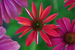 Summer colours (Echinacea Twilight and Echinacea Summer Cloud) (natureloving) Tags: echinaceasummercloud echinaceatwilight coneflower nature macro flowersinfrance flowersineurope fleursenfrance natureloving nikon d90 afsvrmicronikkor105mmf28gifed