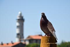 Murano Faro e Colomba (cokbilmis-foto) Tags: dove faro murano leuchtturm lighthouse nikon d3300 italy venezia venice italia nikkor 18105mm