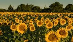 Sunflowers (tucsontec) Tags: deutschland outdoor natur sonnenblumen sunflowers feld field nature summer