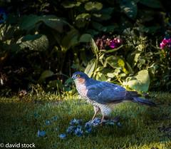 Sparrowhawk (spennydave) Tags: sparrowhawk flickr