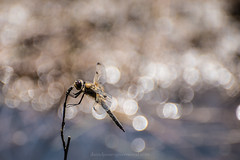 Bokeh dragon (Daniel James Greenwood) Tags: nikond750 thursleycommon danielgreenwood danielgreenwoodphotography bokeh dragonflies