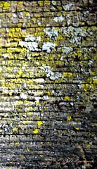 Mold on wood (Jill Rowland) Tags: wood mold green earth panasonicphoto abstract abstractart manipulatedphoto