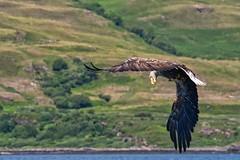 Sea Eagle ~ AKA ~ The barn door (Margaret S.S) Tags: whitetailed eagle sea isle mull scotland haliaeetus albicilla