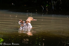 hard to port mum (RCB4J) Tags: guvs garscubeestate nature rcb4j ronniebarron scotland sigma150500mmf563dgoshsm sonyilca77m2 art photography riverkelvin wildlife goosander chicks light shade reflection megusmerganser sawbill duck divingduck