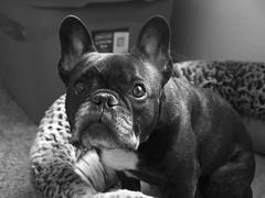06-28-18 (3168) Quick Shots (Lainey1) Tags: 3168 3168oz 365 theninthyear 062818 oz ozzy dog ozymandias lainey1 bulldog frenchbulldog zendog frogdog ozzythefrenchie frenchie olympus olympusxz1 bw monochrome