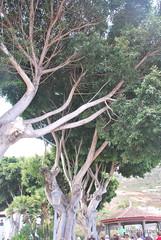 Ікод-де-лос-Вінос, Тенеріфе, Канарські острови  InterNetri  169