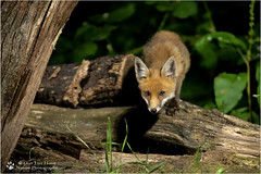 Juvenile Red Fox with an eye problem (Gertj123) Tags: animal hide netherlands nature forest night tree eyes predator mammals