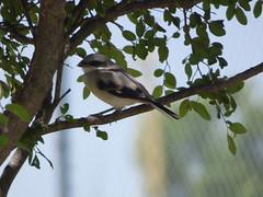 Loggerhead Shrike, June 29, 2018, Heritage Park, Sachse, Texas (gurdonark) Tags: bird birds wildlife loggerhead shrike heritage park sachse texas