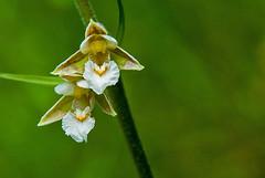 Route du col de La Trappe (Ariège) (PierreG_09) Tags: ariège pyrénées pirineos couserans ustou latrappe séracdustou flore flor fleur plante helléborinedesmarais orchid orchidacée orchidée orquidea épipactispalustris occitanie midipyrénées
