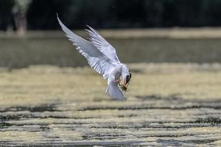 common tern catch