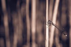 Metallic Damselfly (Of Light & Lenses) Tags: damselfly reedgrass pond pondgrasses insects libellen kleinlibelle metallic metallivdamsel chromeplated naturfotodeutschland naturrheinland rheinland lowerrhineregion niederrhein garten gartenteich teichgrass mzuiko4012100mmpro olympus omdm1mkii