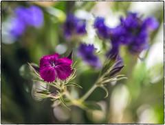 Single Flower (NoJuan) Tags: closeup macro tamron adaptall lensadapter fotodioxadapter 90mm tamron90mm sonya7withmanualfocuslens sonya7ii manualfocuslens mirrorless flower