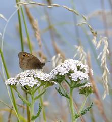 Meadow Brown on Yarrow (chdphd) Tags: stonehaven aberdeenshire kincardineshire maniolajurtina maniola achilleamillefolium achillea