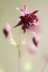 Aquilegia (haberlea) Tags: garden aquilegia flower plant mygarden