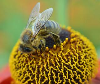 honey bee on Helenium