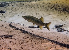 Pickerel Tail in Gainer Spring (Phil's 1stPix) Tags: underwater snorkel dive fish pickerel chainpickerel florida wildlife freshwaterfish floridasprings floridaspringfish floridachainpickerel floridanature outdoorrecreation realflorida naturalecosystem geotag geotagged freshwater econfinacreek floridapanhandle econfinacreekcanoetrail econfinacreekbaycounty baycountyflorida gainersprings wildflorida creativecommonsnature northwestfloridawatermanagementdistrict panhandlecanoetrip nwfwmd taxonomy:binomial=esoxniger econfinasprings northwestfloridawatermanagmentdistrict floridawildlife phils1stpix firstpix unitedstates usa floridaunderwater floridasnorkeling floridaspringssnorkeling photoscape floridaspringecosystem olympusem5 olympuscamera olympusunderwatercamera floridaaquifer econfina adobelightroom6 econfinacreekwatermanagementarea