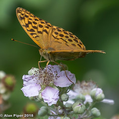 Silver Washed Fritillary (PapaPiper) Tags: silverwashedfritillary butterfly britishbutterfly britishwoodland england southgloucestershire britishwildlife nature