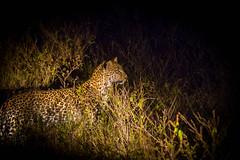 Caught in the spotlight (henksys) Tags: senyati leopard luipaard africa botswana namibie reizen travel