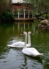 Sevilla, parque de María Luisa (.Guillermo.) Tags: sevilla seville andalucía spain animal cisnes naturaleza park lago agua water