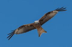 Red Kite 15-07-2018-1738 (seandarcy2) Tags: birds wildlife bif birdsofprey raptors oxfordshire uk kite red redkite