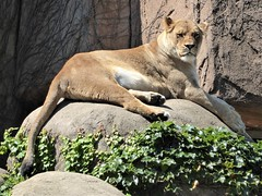 Chicago, LIncoln Park Zoo, Regal Lioness (Mary Warren 10.8+ Million Views) Tags: chicago lincolnparkzoo nature flora fauna green leaves foliage mammal animal lioness