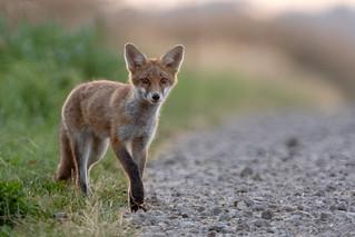 Renard roux (Vulpes Vulpes) Red Fox A7RIII