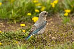 Lady Bird (ChicagoBob46) Tags: mountainbluebird bluebird bird yellowstone yellowstonenationalpark nature wildlife coth5 naturethroughthelens ngc specanimal specanimalphotooftheday npc