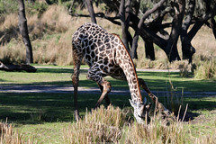 Giraffe (Rick & Bart) Tags: animal fauna waltdisneyworldresort animalkingdom disney orlando florida rickvink rickbart canon eos70d disneyworld giraffe