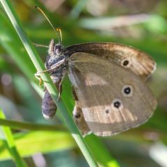 extreme slide (ErrorByPixel) Tags: trawa natura przyroda motyl insekt butterfly blade grass green insect nature animal macro pentax k5