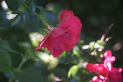 DSC09036 (Old Lenses New Camera) Tags: sony a7r kodak medalist ektar heliar 100mm f35 plants garden flowers rose roses