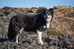 19-july-kotlugengi-patterson_043 (Stefán H. Kristinsson) Tags: dogs hundar hundur playing reykjanes july júlí 2018 nikond800 nikon70200f4 sunny summer