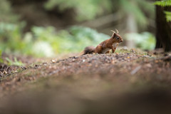 Nut Ninja (mattwalkerncl) Tags: 5dmkiv canon consett content eos england general northumberland otherkeywords outdoors places powhill redsquirrel uk wild wildlife woodland