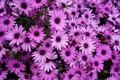 Little purple flowers (Eric Flexyourhead) Tags: ogijima 男木島 おぎじま takamatsu takamatsushi 高松市 kagawa kagawaken kagawaprefecture 香川県 setonaikai 瀬戸内海 setouchi japan 日本 flowers bright vibrant vivid purple sonyalphaa7 zeisssonnartfe35mmf28za zeiss 35mmf28