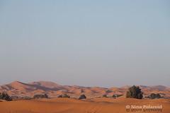 Sand Dunes and Tamarix (nina.polareuth) Tags: merzouga sanddune sanddunes tamarix sahara maroc morocco