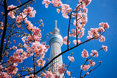TOKYO SKYTREE_東京スカイツリー_10 (hans-johnson) Tags: tokyo spring skytree tokyoskytree sky tree blue white sumida sumidaku landmark kanto japan 東京 スカイツリー 東京スカイツリー スカイ ツリー 墨田 墨田区 東武 テレビ タワー tower 関東 関東地方 日本 アジア travel asia 戶外 塔 red flower plant nature skyscraper building canon eos 5d 5d3 architecture skyline day light daylight asian downtown trip tour landscape hdr city urban metropolis metropolitan reflection scape bleu sunshine shine sunny people capture nice azure pink sakura cherry cherryblossom blossom 2470mm 桜 japon