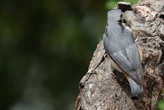 (gomesd1962) Tags: trepadeiraazul 77d canon portugal arrábida wildlife birds