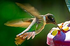 Ruby Throated Hummingbird (Brett of Binnshire) Tags: usa hancockcounty wildlife locationrecorded bird animals maine binnshire gouldsboro hummingbird rubythroated feeder motion flight feeding
