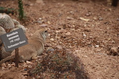 Round-tailed Ground Squirrel - Desert Botanical Gardens (Phoenix, Arizona - July 2018) (cseeman) Tags: desertbotanicalgardens dbg desertbotanicalgardensphoenix botanicalgardens publicgardens gardens succulents cactus phoenix arizona sonorandesert desert plants trees flowers arid barbie2018 dbg2018 wildlife wildlifeatdbg squirrels squirrelsofarizona roundtailedgroundsquirrels roundtailedsquirrels groundsquirrels
