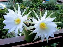 Il fiore che dura mezza giornata!  Explore  07/25/18 (Echeveria62) Tags: echinopsis cactus weeklythemes flora macro