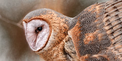 Half a Heart (Goromo) Tags: stillmannaturecenter barnowl heart heartshapedface pale owl birdofprey facialdisk