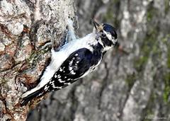 Female Downy Woodpecker (Anne Ahearne) Tags: wild bird animal nature wildlife tree bark woodpeckers downywoodpecker closeup woods forest birdwatching