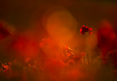 Poppy (Benjamin Joseph Andrew) Tags: plant red rouge arable farmland farming agriculture wildflower scarlet rememberance grassland growing flowering summer