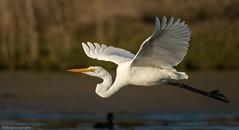 Eastern Great Egret (Mykel46) Tags: bif nature wildlife flight white sony a9 100400mm outside outdoor