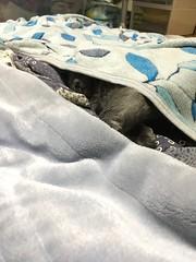 Sleeping Yuba (sjrankin) Tags: 5july2018 edited animal cat yuba closeup blanket futon kitahiroshima hokkaido japan