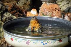 I need a bath! (Deida 1) Tags: robin bird birdbath heat summer garden staffordshire wildlife
