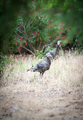 Ugly Bird (evannoronha) Tags: wild turkey rancho san antonio